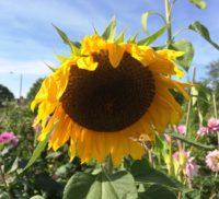 Sunflower on Farnham allotment plot