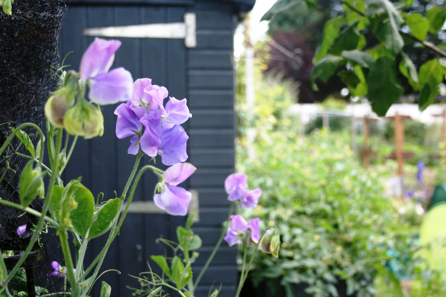 Sweetpeas on allotment. Shed in background