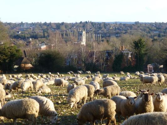 Farnham and sheep © Keith Miller