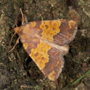 barred-sallow-Xanthia-aurago copyright Martin Angel