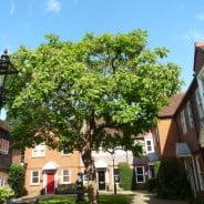 Indian bean tree (capalpa bignoniodes), Borrelli Yard copyright Peter Bridgeman