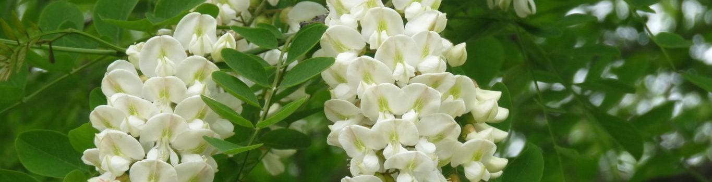 Farnham and Farnham Park no 18 False acacia flowers