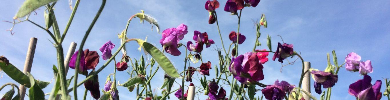 Purple sweetness against a blue sky.