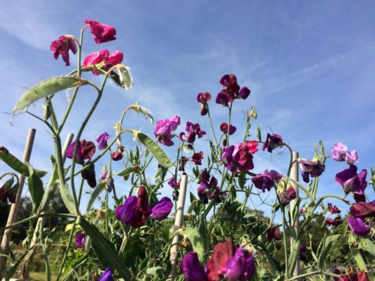 Purple sweet peas against a blue sky.