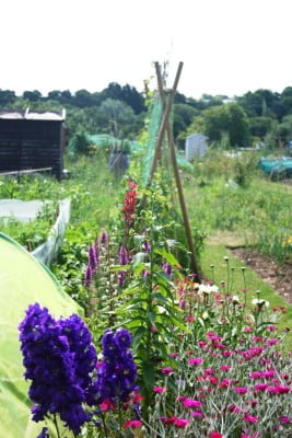 Runner beans and flowers on allotment.