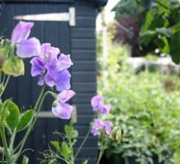 Purple sweetpeas on allotment. Shed in background
