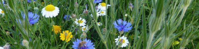 Bishops Meadow wild flowers P1050546 © FTC