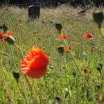 Red poppies, wildflowers, and grasses growing in cemetery. Gravestones in background.
