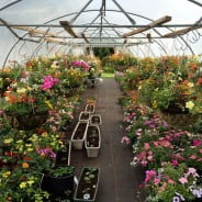 colourful hanging baskets in greenhouse.