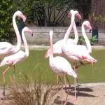 Flamingos Birdworld copyright FTC