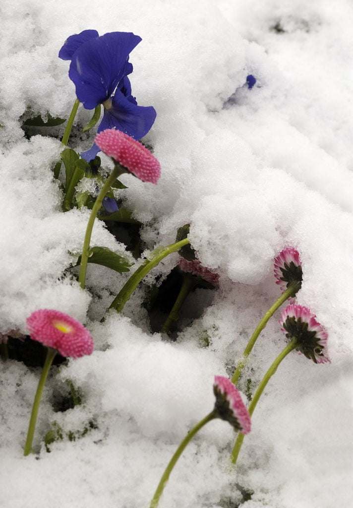 Pink and blue flowers in snow.