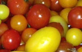 Red, orange and yellow tomatoes