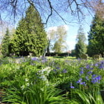 Blue and whitebells. Trees, gravestones.