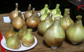 Rows of prize onions, allotment show.