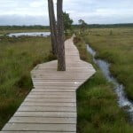 boardwalk with water and long grass either side.