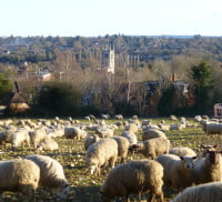 Field with sheep, town in the background