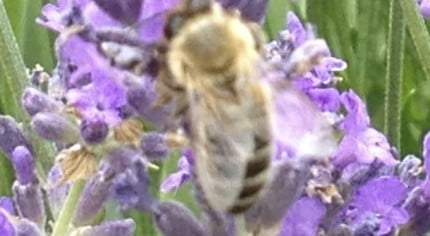 Purple lavender. Close up of bee.