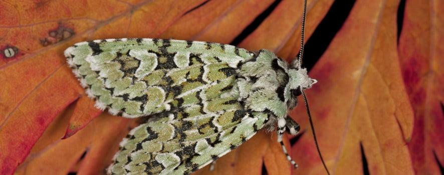 Merveille du jour moth Dichonia aprilina copyright Martin Angel