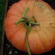 Large orange pumpkin