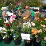 Roses in plant pots on a market stall. Stallholders in background.