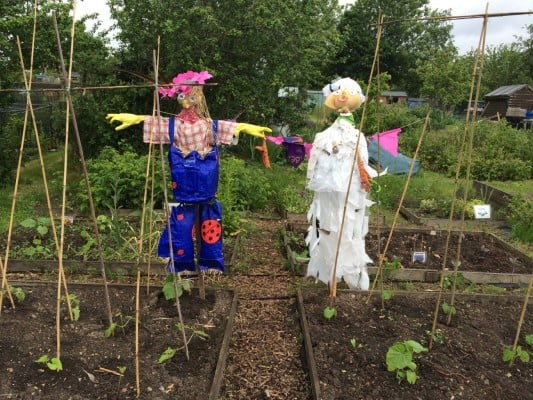 Two scarecrows in middle of allotment.