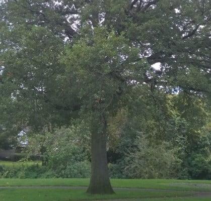 Oak tree Gostrey Meadow copyright Farnham Maltings