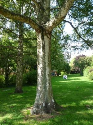Silver Birch (Betula pendula) copyright Peter Bridgeman