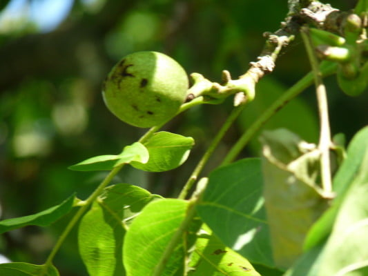 Walnut (Juglans regia) copyright Peter Bridgeman