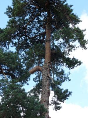Scotts pine (Pinus sylvestris), Firgrove Hill copyright Peter Bridgeman