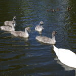 Swan with signets copyright FRMC