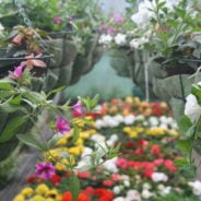 Hanging baskets and flowers in a greenhouse