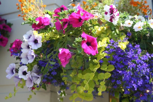Hanging basket filled with brightly coloured flowers.