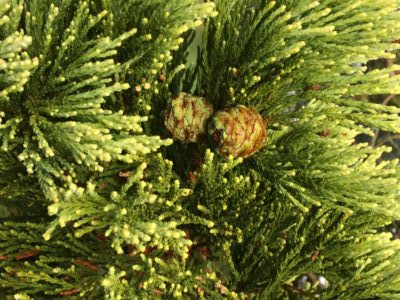 leaves-and-cones-of-giant-redwood