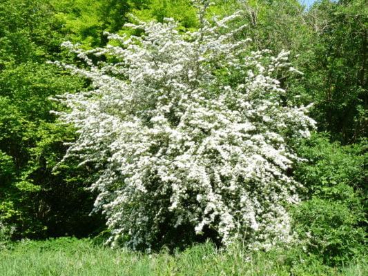 Tree trail II no-1-hawthorn-may-blossom