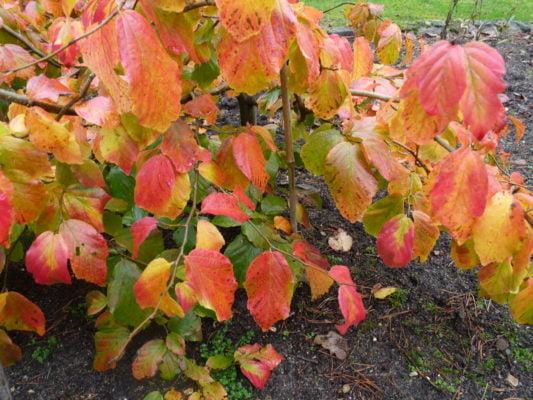 Farnham and Farnham Park tree trail IIno-10-persian-ironwood