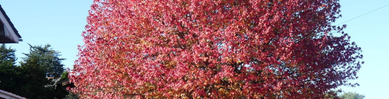 Farnham and Farnham Park tree trail no 11 Sweet gum Bourne Green