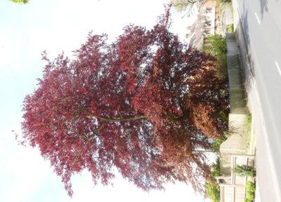 Farnham and Farnham Park tree trail no-14-purple-beech-spring-foliage