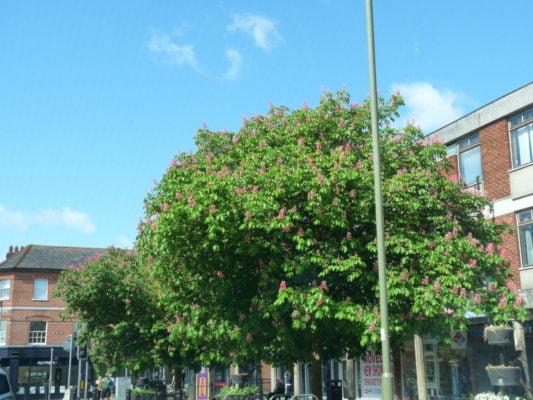 Farnham and Farnham park tree trail no15 red Horse chestnut-tree