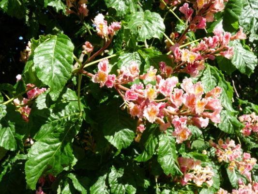 Red horse chestnut flower