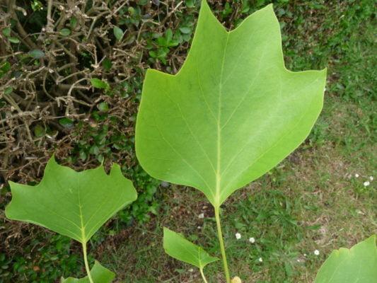 Farnham and Farnham park tree trail no17 Tulip tree leaves