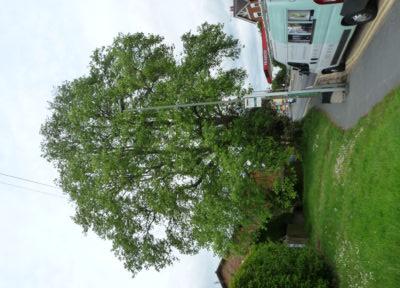 Farnham and Farnham Park tree trail II no-17 tulip tree