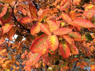 Orange leaves of a tree