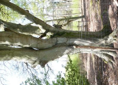 Farnham and Farnham Park tree trail II no 21 Beech Bourne woods trunk