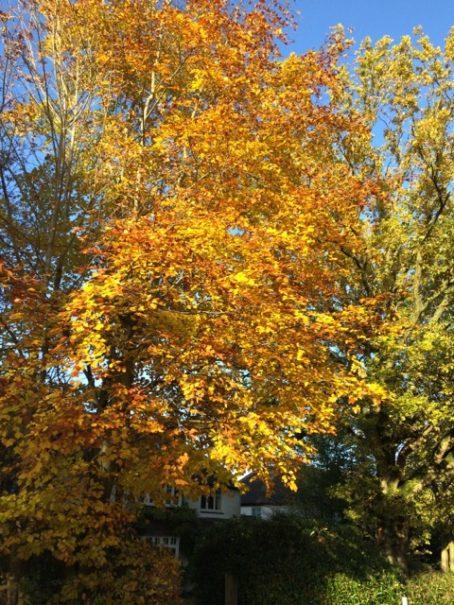 no-21-beech in autumn colour
