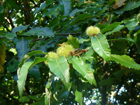 Farnham and Farnham Park tree trail II no 25 sweet chestnut autumn fruit