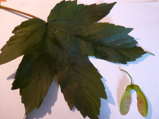 sycamore leaf and seed