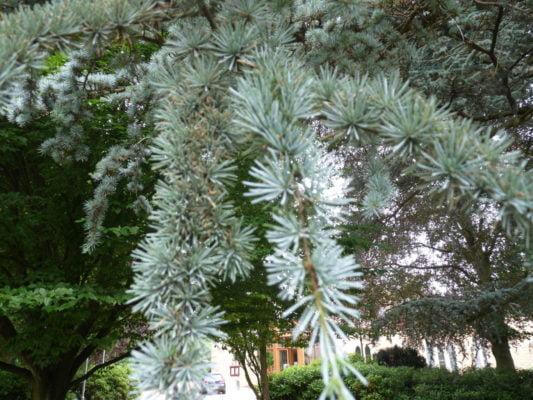 Farnham and Farnham Park tree trail IIno-9-blue-atlas-cedar-foliage