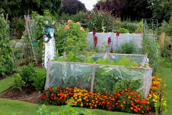 Vegetables growing on an allotment protected by caging. Orange flowers growing in foreground