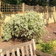Bench with shrub and wooden fence behind.