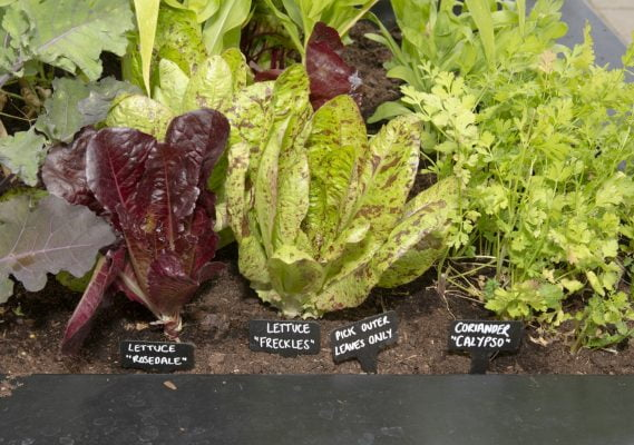 Salad leaves and vegetables growing in a large container.